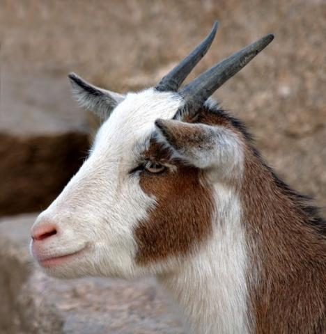 Domestic_Goat_Portrait_(aka)