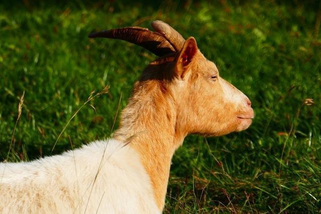 goat-509823_960_720