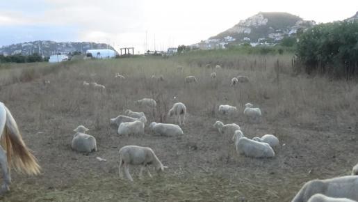 ovejas-abandonadas