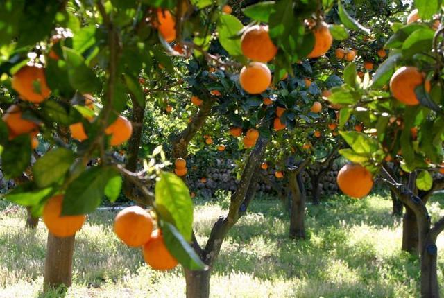 012317 Cítricos- naranjos