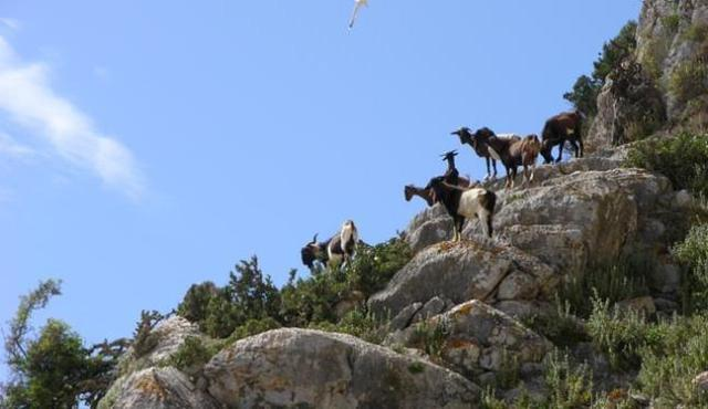Cabras asilvestradas