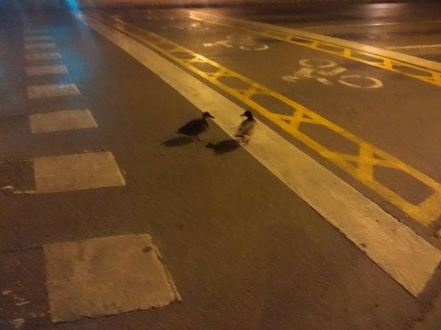 dos patos muy patos