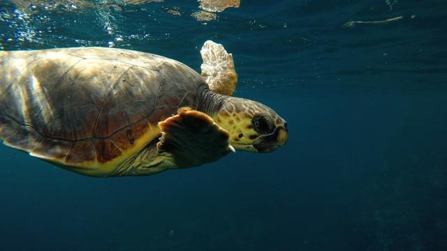 La tortuga boba es otra de las posibles afectadas (Foto: Palma Aquarium)
