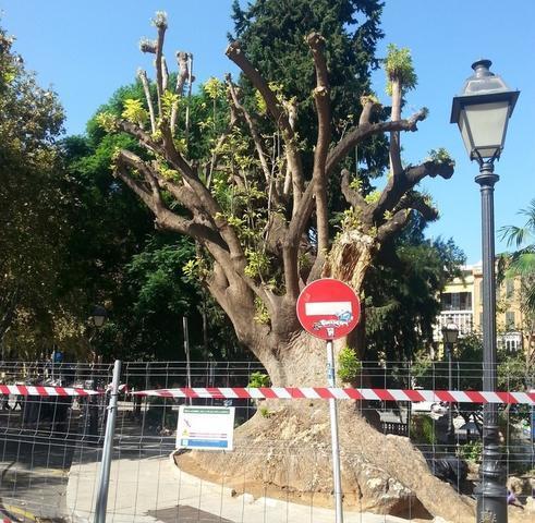 El árbol tiene 100 años (Foto: CAIB)