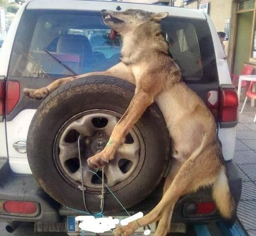 El lobo, paseado como un trofeo (Foto: Facebook de Uralde)