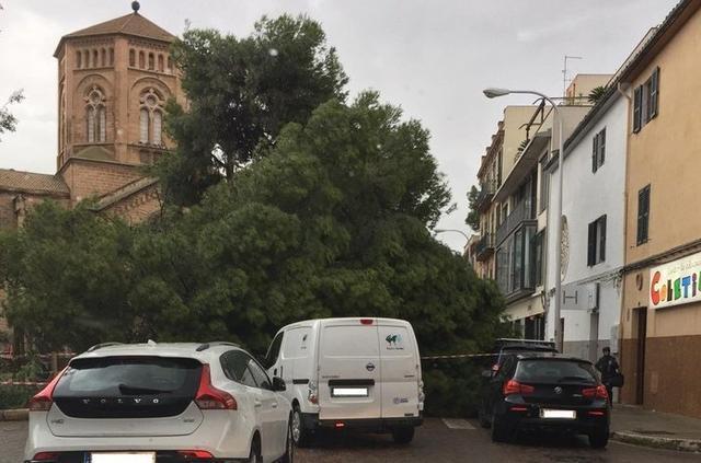 Un árbol caido en la Plaça Verge del Miracle (Foto: 112)