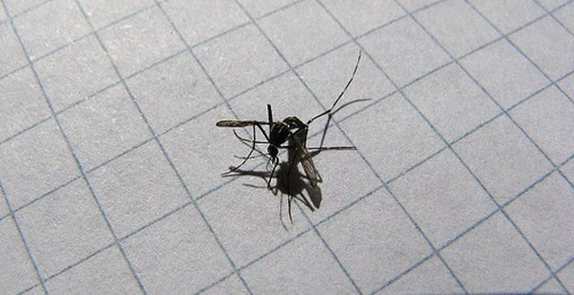 El terrible mosquito tigre, negro y peligroso hasta decir basta