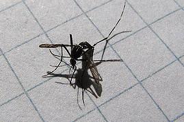 mosquito tigre muerto (2)