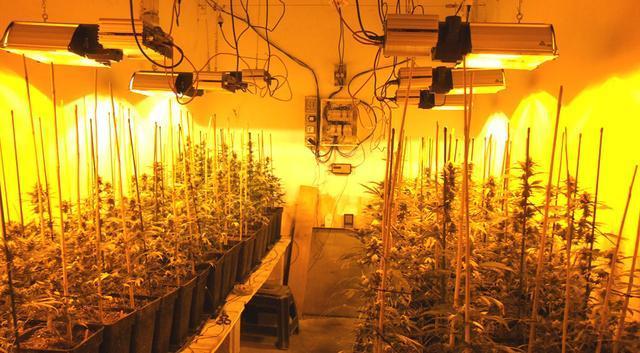 La plantación de marihuana encontrada por la Guardia Civil en Porreres se componía de 204 plantas
