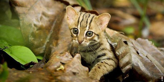 El gato herrumbroso, el más pequeño del mundo