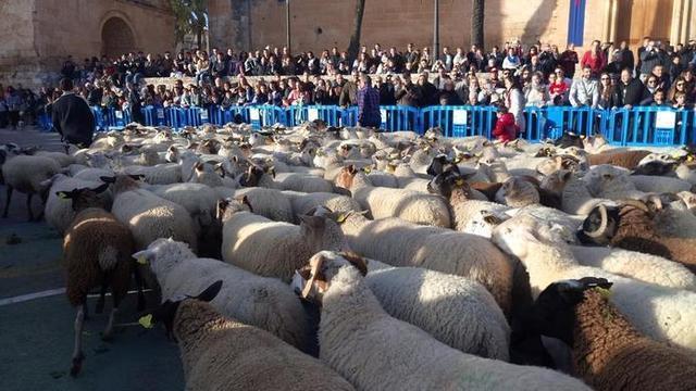 Dos rebaños con 1.400 ovejas pasearán este año por el centro de Muro (Foto: Ayto Muro)