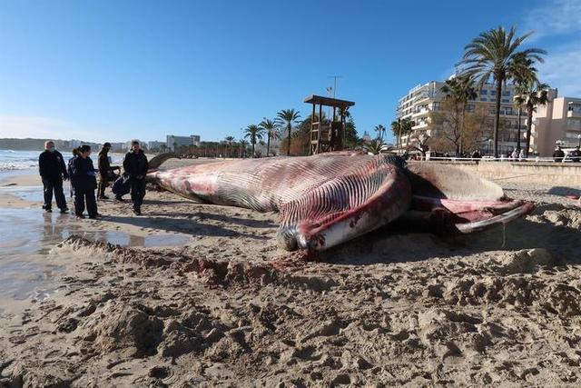 La decisión de realizar la autopsia 'in situ' se debe a la imposibilidad de retirar el animal completamente de la arena (112)