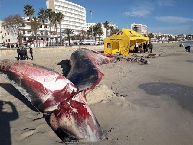 La decisión de realizar la autopsia 'in situ' se debe a la imposibilidad de retirar el animal completamente de la arena (Foto: 112)