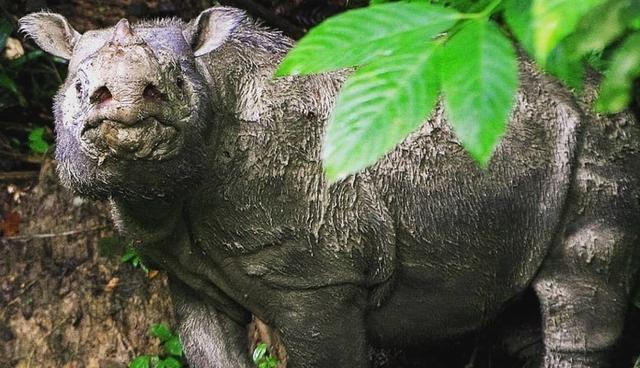 Expertos calculan que sólo quedan entre 30 y 80 rinocerontes de Sumatra en el mundo