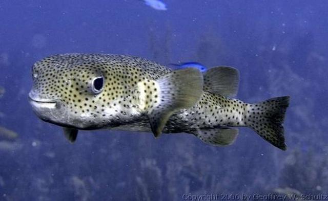 Imagen de un pez erizo (Diodon hystrix)
