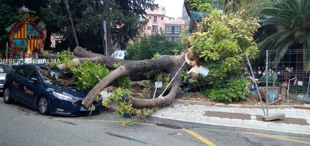 Imagen de la caída del árbol bellasombra encima de un coche (Foto: Bombers de Palma)